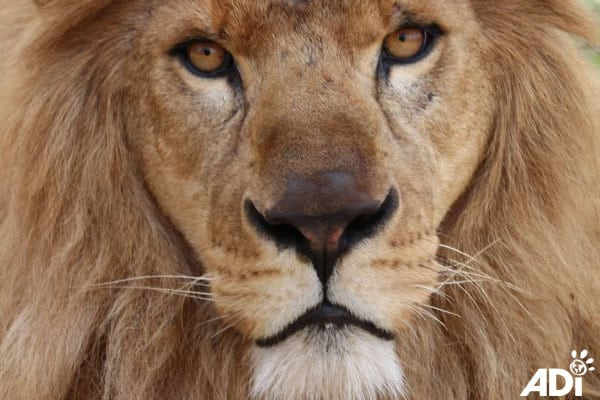 Animal Defenders International Lion Rescue