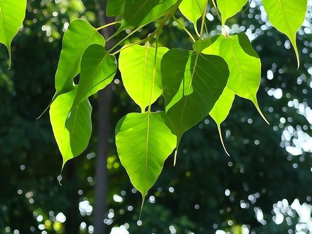 Sanghamitta Day - bo tree leaves