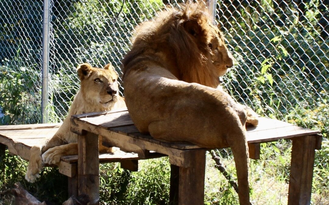 Lions and Tigers are Different  – Part 2